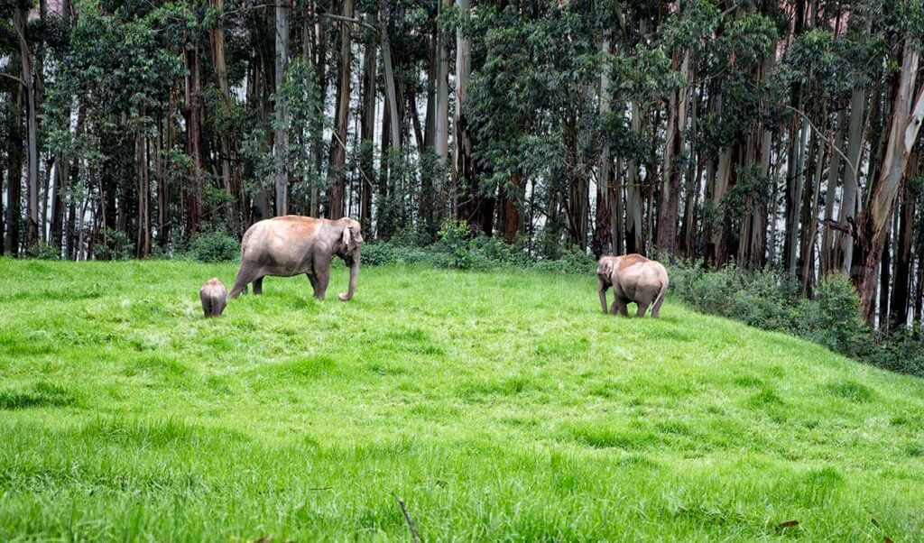 Family of wild elephants in Munnar, India