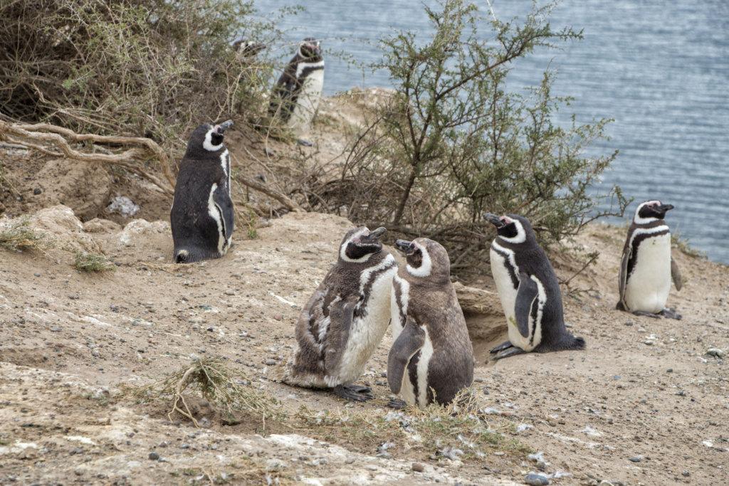 Penguins at Peninsula Valdes, Argentina