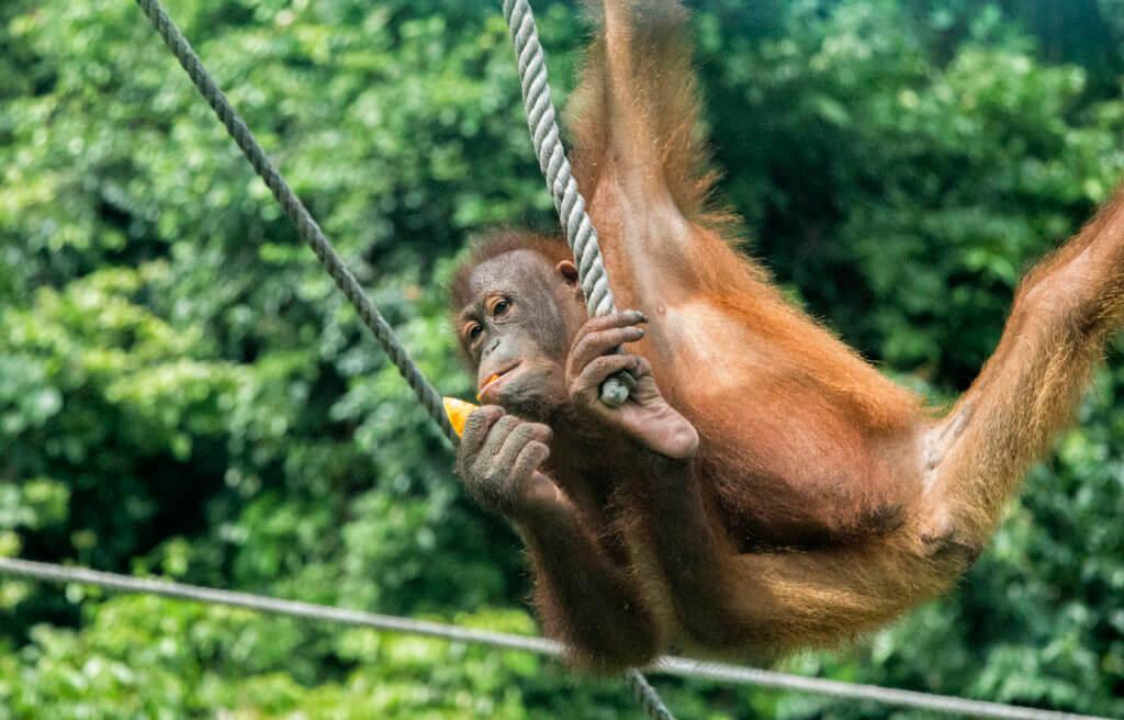 Orangutan at Sepilok sanctuary, Borneo, Malaysia