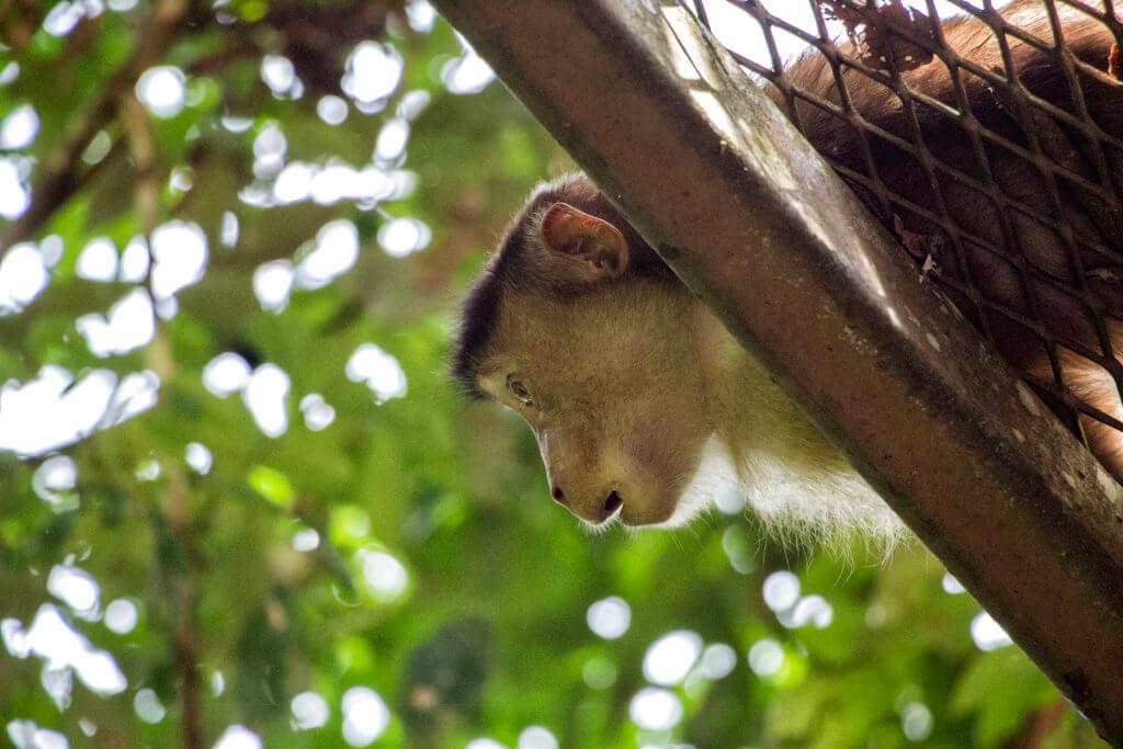 Monkey at Sepilok sanctuary, Borneo