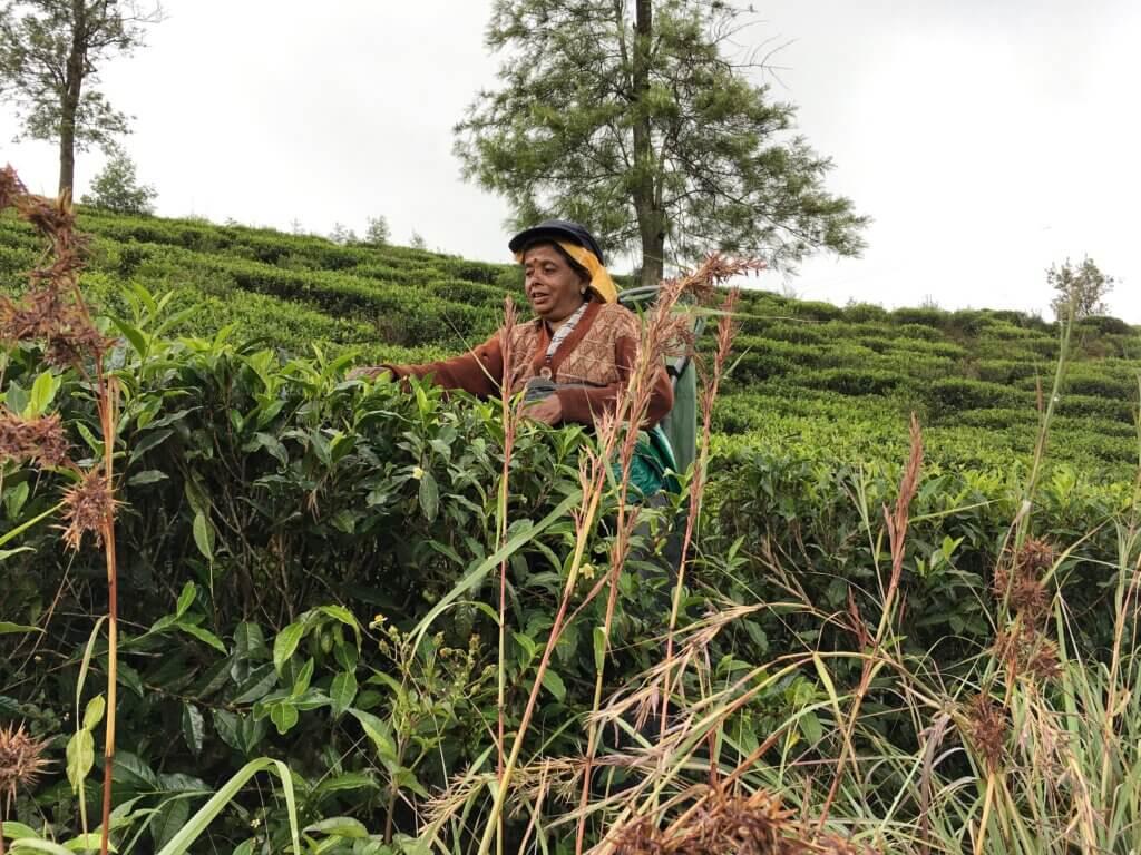 Woman picking tea in the countryside around Nuwara Eliya, Sri Lanka
